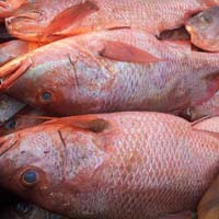 Blood Red Snapper
