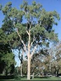 Lemon Eucalyptus Tree