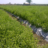 Stevia Cultivation