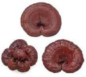 Dry Red Reishi Mushrooms