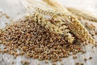 Fresh Organic Wheat