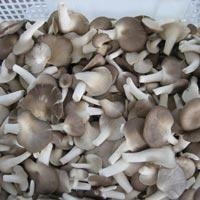 Oyster Sajor Caju Mushroom