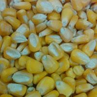Indian Yellow Maize, Indian Yellow Corn