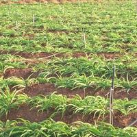 Herbal Plant Cultivaiton Services, Medicinal Plant..