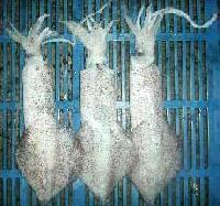 Frozen Squid  Fs-01