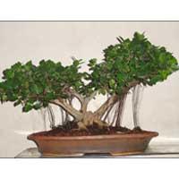 Bonsai Plant 02