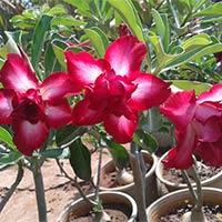 Adeniums Plants