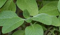 Coleus Forskohlii Plants