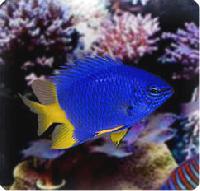 Damsel Marine Fish