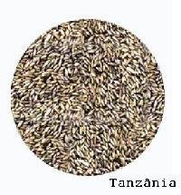Pasture Seed Of Panicum maximum cv. Tanzania