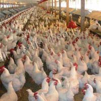 Broiler Poultry Finisher Feed