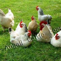 Broiler Poultry Grower Feed