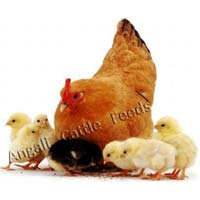 Broiler Poultry Pre Starter Feed