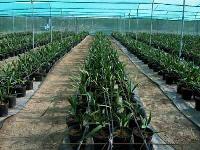 Tissue Cultured Date Plants