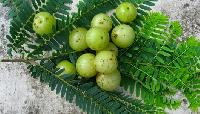 Fresh Amla Gooseberry