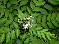 Fresh Curry Leaves Exporters in India