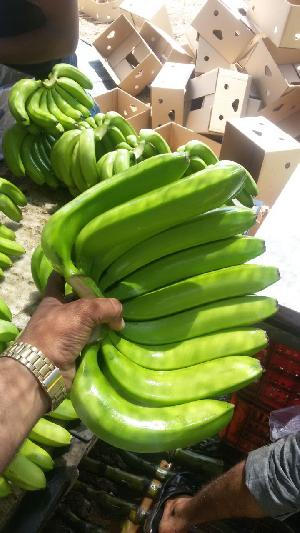 Fresh Green Banana Supplier/Manufacturer/Exporters In India
