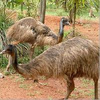 Emu Meat Food