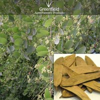 Anjan Tree Seeds ( Hardwcikia Binata )