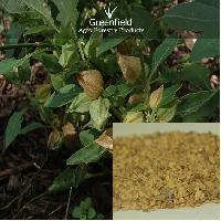 Ashwagandha Medicinal Seeds ( Withania somnifera )