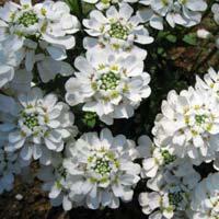 Candytuft Flower Seeds