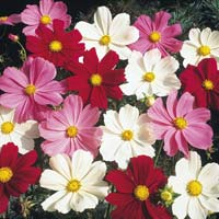 Cosmos Sensation Mix Flowers Seeds