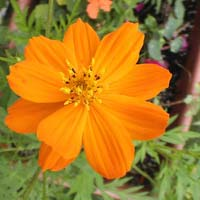Cosmos Sensational Orange Flowers Seeds