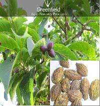 Harra Medicinal Seeds  ( Terminalia Chebula )