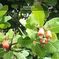 Kaju Fruit Seeds ( Anacardium Occidentale )