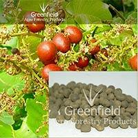 Kasai Tree Seeds ( Bridelia Retusa )