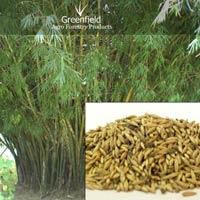 Katanga bamboo tree seeds ( Bambusa arundinacea )