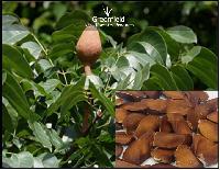 Mahogany tree seeds ( Swietenia macrophylla )