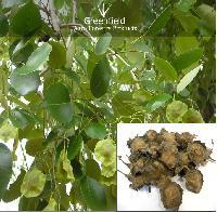 Red sandal Tree Seeds ( Pterocarpus Santalinus )