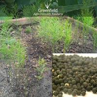 Shatavari medicinal Seeds ( Asparagus Racemosus )