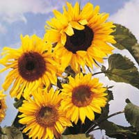 Sunflower Russian Gaint Flower Seeds