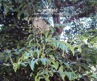 Vaividang Medicinal Seeds ( Embelia Ribes )