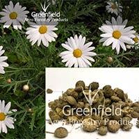 White Akarkara Medicinal Seeds ( Anacyclus Pyrethrum )