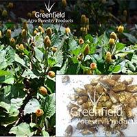 Yellow Akarkara Medicinal Seeds ( Acmella Oleracea )