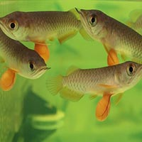 Usa baby fish baby fish from america manufacturers and for Red arowana fish for sale in usa