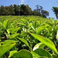 On-line Tea Manufacturing Arrangement - a Complete Manpower Solution.