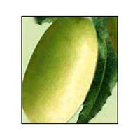 Neem Fruit - 02