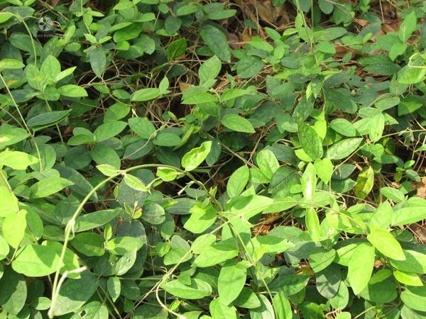 Gymnema Sylvestre Herb