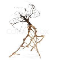 Vinca Rosea Roots