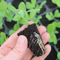 Seasonal Vegetable Seedling
