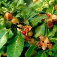 Ashwagandha Herbs