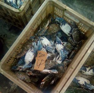 Live Blue Swimming Crabs