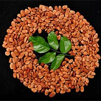 Pongamia Pinnata Seeds