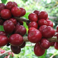 Garcinia cambogia side effects heart problems
