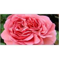English Rose Plant