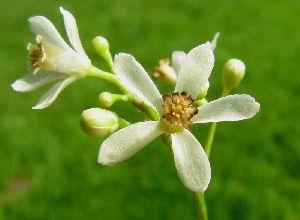 Neem Flower Powder